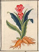 Illustration from a copy of Compendium of Materia Medica, from 1800