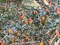 Berberis linearifolia (12994603433).jpg