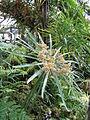 Berne botanic garden Cyperus alternifolis.jpg
