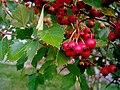 Berries (212805360).jpg