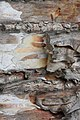 Betula papyrifera 8840.JPG