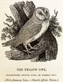 Bewick Thomas Barn Owl Tyto alba.png
