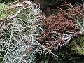 Biatoropsis usnearum Räsänen 407233.jpg
