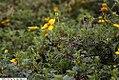 Bidens ferulifolia Solaire Yellow 7zz.jpg