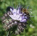 Biene und Phacelia.jpg