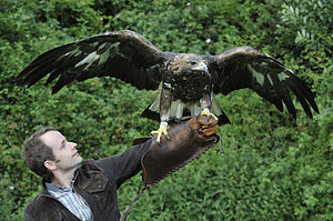 Symphony No. 4 (Davies) - A golden eagle taking flight was one source of inspiration for the symphony