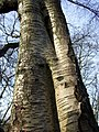 Birch bark - geograph.org.uk - 676126.jpg