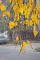 Birch branches.jpg