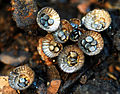 Bird's Nest Fungus (Cyathus olla) - Flickr - Andrea Westmoreland.jpg