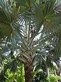 Bismarckia nobilis - Jardin botanique de Deshaies.JPG