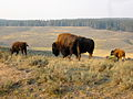 Bison in Yellowstone.JPG