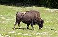 Bisonte americano (Bison bison), Tierpark Hellabrunn, Múnich, Alemania, 2012-06-17, DD 02.jpg