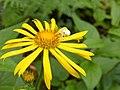 Blüte mit Spinne.jpg