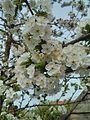 Blüten der Sauerkirsche.jpg