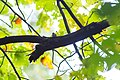 Black-and-white warbler (29593651623).jpg