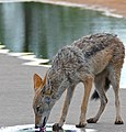 Black-backed Jackal (Canis mesomelas) (32879282980).jpg