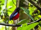 Фотография прямой короткохвостой птицы, черной с красным брюшком и переливающимся небесно-голубым крылом.