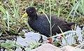 Black Crake (Amaurornis flavirostra) (32675003588).jpg