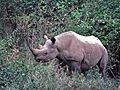 Black Rhino (Diceros bicornis) (8290870387).jpg