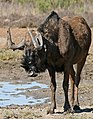 Black Wildebeest (Connochaetes gnou) male (33053621755).jpg