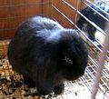 Black bunny (121694613).jpg