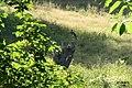 Black stork (Kocioł) (10943393844).jpg