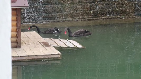 File:Black swans in Kamianets-Podilskyi.ogv