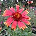 Blanketflower - Gaillardia aristata IMG 5591.jpg