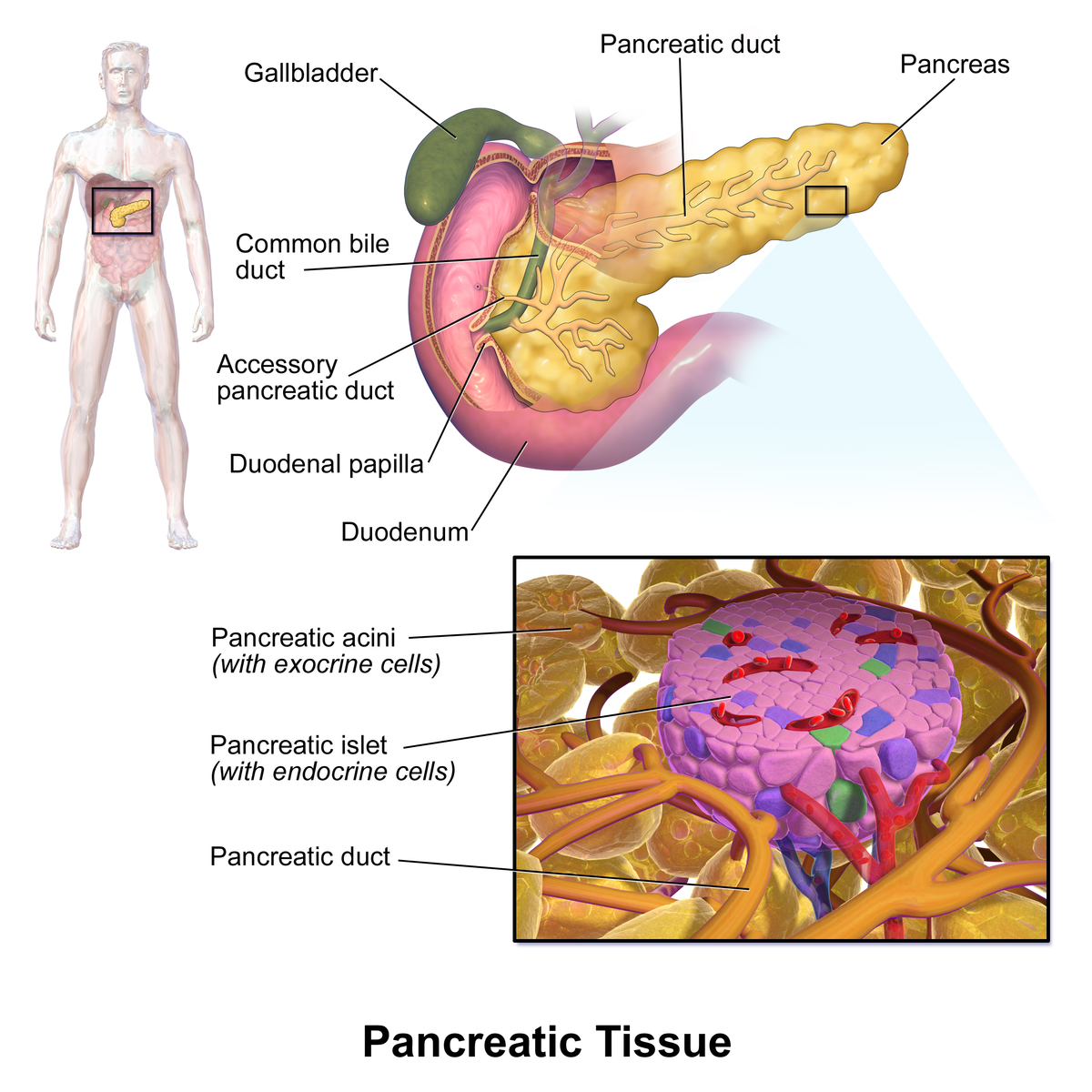 Pancreatic islets - Wikipedia