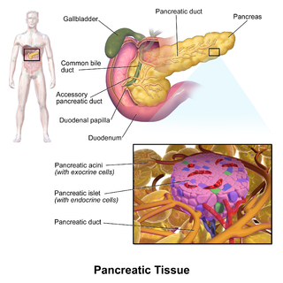 Pancreatic islets regions of the pancreas