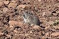 Blick's grass rat (Arvicanthis blicki).jpg