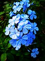 Blue Plumbago Bloom.jpg