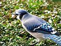 Bluejay with a peanut.jpg