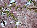 Blumen in Weidenau Siegen - panoramio.jpg
