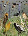 Bobolink From The Crossley ID Guide Eastern Birds.jpg