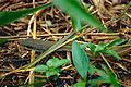 Boddaert's Tropical Racer (Mastigodryas boddaerti) (10346826266).jpg