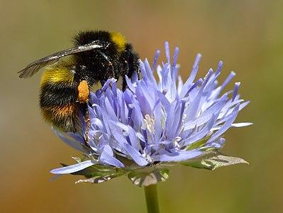 Broken-belted bumblebee