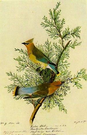 Cedar waxwing - Audubon's illustration