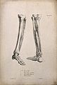 Bones and muscles of the lower leg; two figures of écorché l Wellcome V0008193.jpg