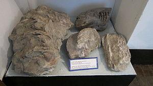 Mingachevir - Bones of the south elephants B.C 600-400 thousand years (Museum of History Mingachevir)