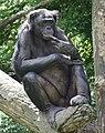 Bonobo 0155.jpg