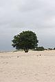 Boom in het zand (3811343257).jpg