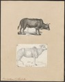 Bos indicus - 1700-1880 - Print - Iconographia Zoologica - Special Collections University of Amsterdam - UBA01 IZ21200141.tif
