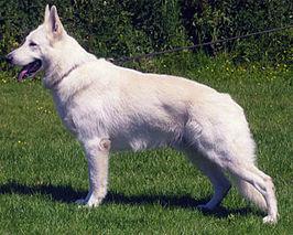 Verbazingwekkend Zwitserse witte herder - Wikipedia DV-45