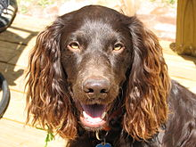 Gifts for Boykin Spaniel Dog Lovers