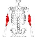 Brachialis muscle01.png