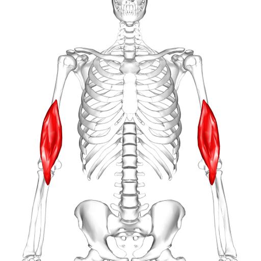 Brachialis muscle01