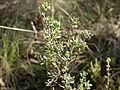 Brachyloma daphnoides 2.jpg