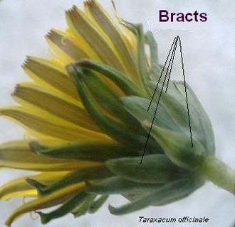 Glossary of plant morphology - Bracts, Taraxacum officinale