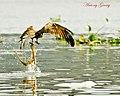 Brahminy Kite Swoop (7008103967).jpg